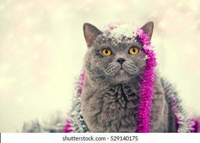 Portrait of a Blue british shorthair cat entangled in colorful Christmas tinsel. Cat walking in the snow outdoor