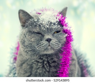 Portrait of a Blue british shorthaired cat with closed eyes entangled in colorful Christmas tinsel. Cat walking in the snow outdoor
