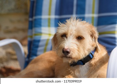 Portrait in blue chair outdoor little cross breed dog against stone wall