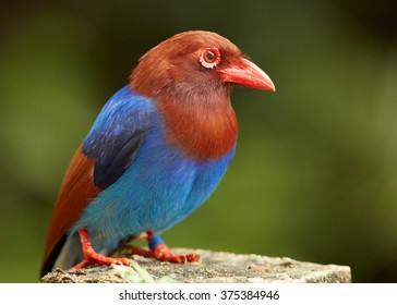 Portrait of blue and chestnut magpie with bright red beak and eyes,Ceylon Blue Magpie, Urocissa ornata,perched on rock in close up distance in Sinharaja forest, against blurred green background.