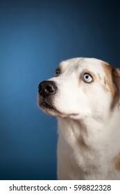 Portrait of a blue eyed dog