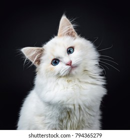 Portrait of blue eyed ragdoll cat / kitten sitting isolated on black background looking at the lens with tilted head
