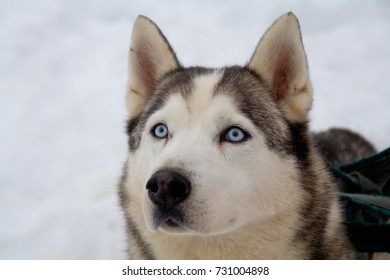 Portrait of a blue eyed sled dog (husky), Dalarna, Sweden.