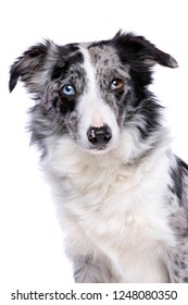 Portrait of a blue merle border collie in front of a white background