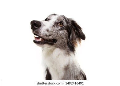 Portrait blue merle border collie dog looking up. Isolated on white background. obedience concept.