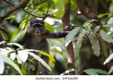 Portrait of a Blue Monkey face in Lake Manyara National Park, Tanzania