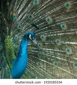 the portrait of blue peacock