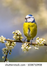 Portrait of Blue tit (Parus caeruleus) perched on Hawthorn (Crataegus monogyna) twig with blossom
