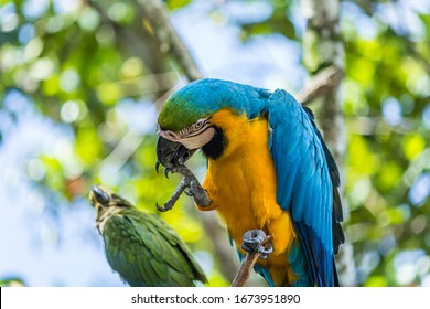 Portrait of blue-and-yellow macaw (Ara ararauna) sitting on a branch and brushing