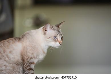 Portrait of blue-eyes cat