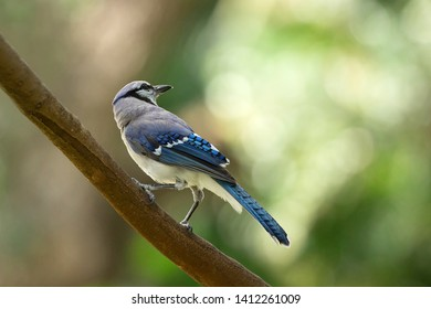 Portrait of a bluejay perched on a branch