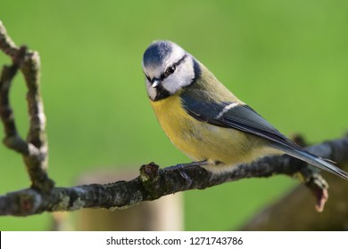 Portrait of a bluetit (cyanistes caeruleus) perching on a branch