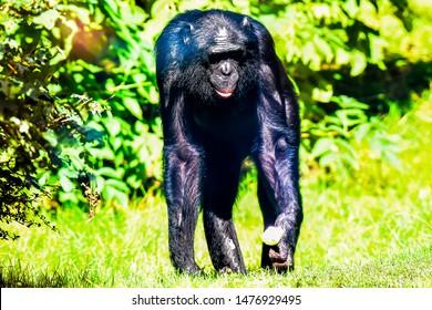 Portrait of bonobo or historically called the pygmy chimpanzee.