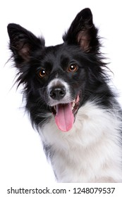 Portrait of a border collie dog in front of a white background