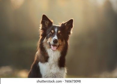 Portrait of Border collie dog on a natural background