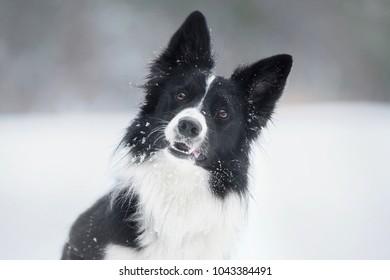 Portrait of a border collie dog that tilt his head