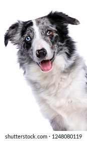 Portrait of a border collie in front of a white background