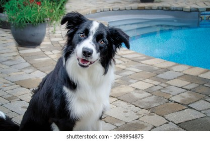 Portrait of a Border Collie sitting by a pool
