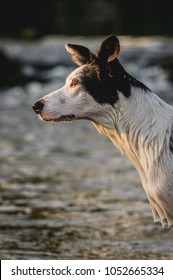 Portrait of border collie with water background.