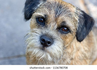 portrait of a border terrier, the Netherlands