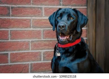 Portrait of a Boston Terrier