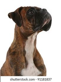 Portrait of a Boxer Dog