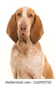 Portrait of a bracco italiano looking at the camera isolated on a white background in a vertical image