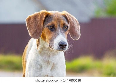 Portrait of breed dog Estonian hound with lowered ears on blurry background
