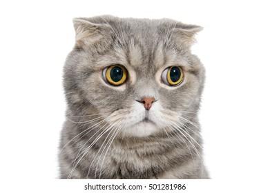 Portrait of breed Scottish fold cat close-up.