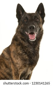 Portrait of a brindle dutch shepherd dog looking at the camera with mouth open isolated on a white background