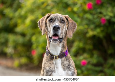 Portrait of a brindle Great Dane female dog outside in a garden