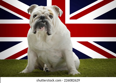 Portrait of British Bulldog sitting in front of Union Jack