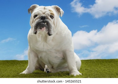 Portrait of a British bulldog sitting on grass against the sky