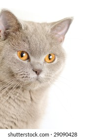 Portrait of a british cat on white background