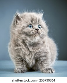 portrait of british long hair kitten