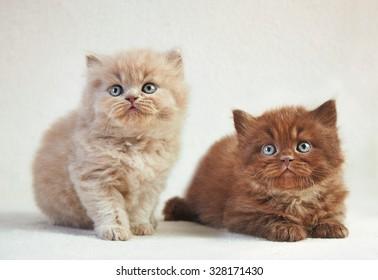 Portrait of British long hair kittens