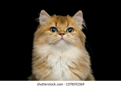 Portrait of British Red Cat with adorable green eyes on Isolated Black Background, front view