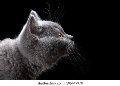 portrait of british short hair kitten on black background