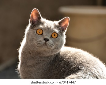 Portrait of a british shorthair  cat in the garden in the backlight.