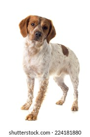 portrait of a brittany spaniel in front of white background