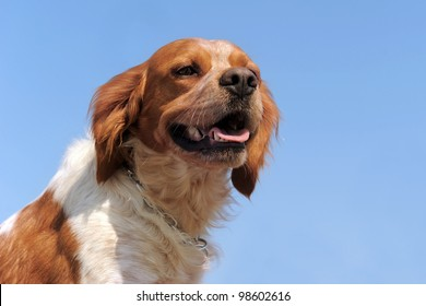 portrait of a brittany spaniel on a blue sky, focus on the eyes