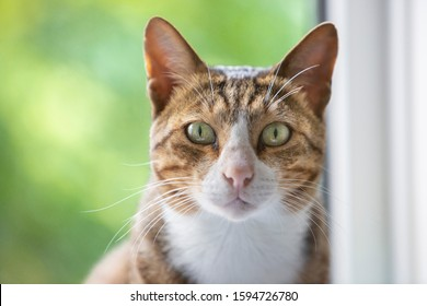 Portrait of bronze Arabian Mau cat sitting on a window sill with a defocused body and garden background