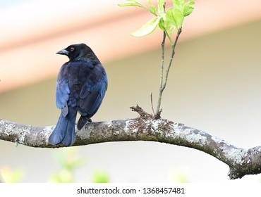 Portrait of a Bronzed Cowbird (Molothrus aeneus) male on an orange tree branch