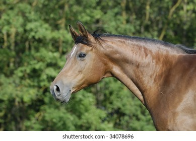 portrait of brown arabian mare on the pasture