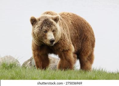 60.488 hình ảnh về Gấu xám Bắc Mỹ mới nhất, chất lượng cao nhất năm 2019