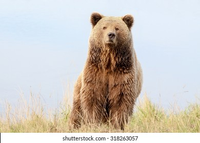 Portrait of brown bear