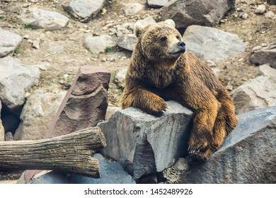 portrait of a brown bear lying on a stone bored