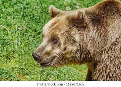 Portrait of Brown Bear on the Background of Green Grass