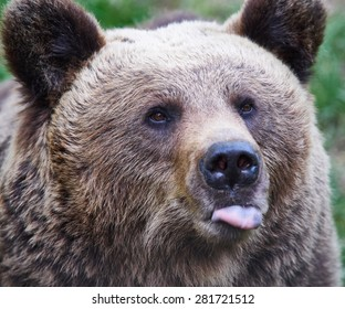 Portrait of a brown bear showing its tongue