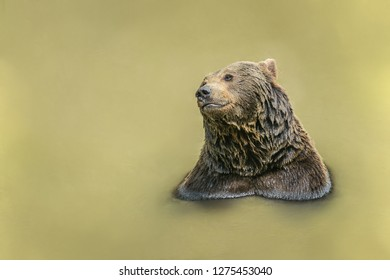 Portrait of brown bear, Ursus arctos, taking a bath in muddy water, having wet fur, sunny day in National Park Bayerischer wald, looking happy, blurry background, copy space